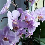 9 trükk, amit fontos tudni, hogy az orchidea sokszor virágozzon!