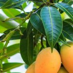 A mangó levél hihetetlen hatásai cukorbetegség ellen
